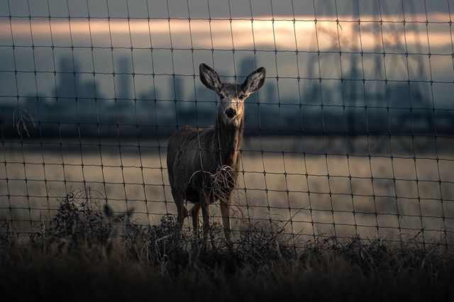 I deer you to comment on this photo. #deerlyfe #wildlifephotography #denver #animals #canonusa #deer #deerhunting #coloradowildlife #urbananimalsphotography #urbanphotography #industryvsnature #emotion #epic #canon100400 #canon1dxmarkii #canon1dxmarkiii