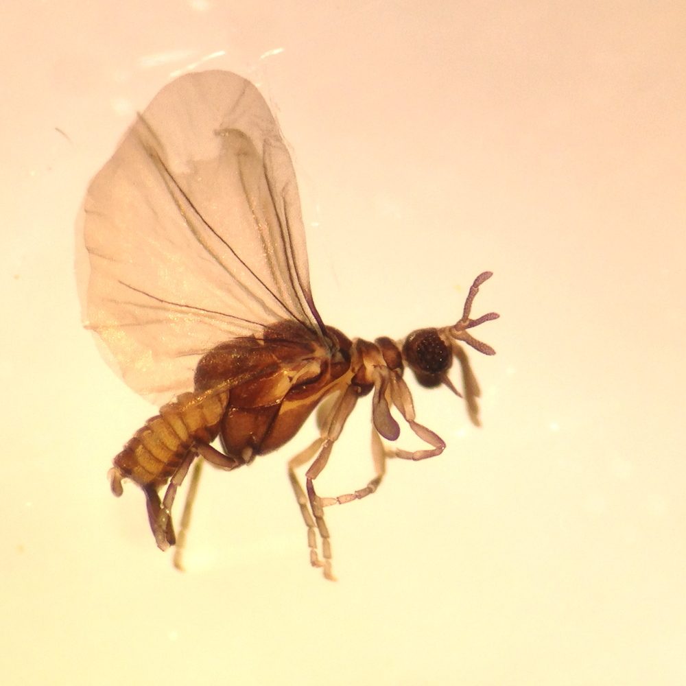 Strepsipteran found in an October sample