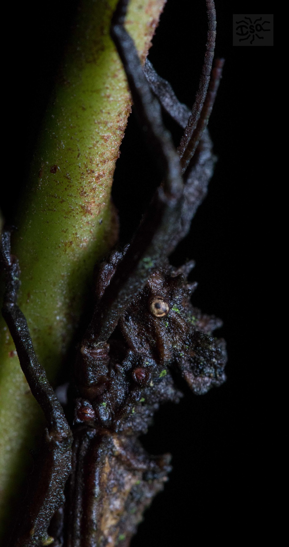 A walking stick insect [Phasmatodea] sits unmoving in the dark of night.