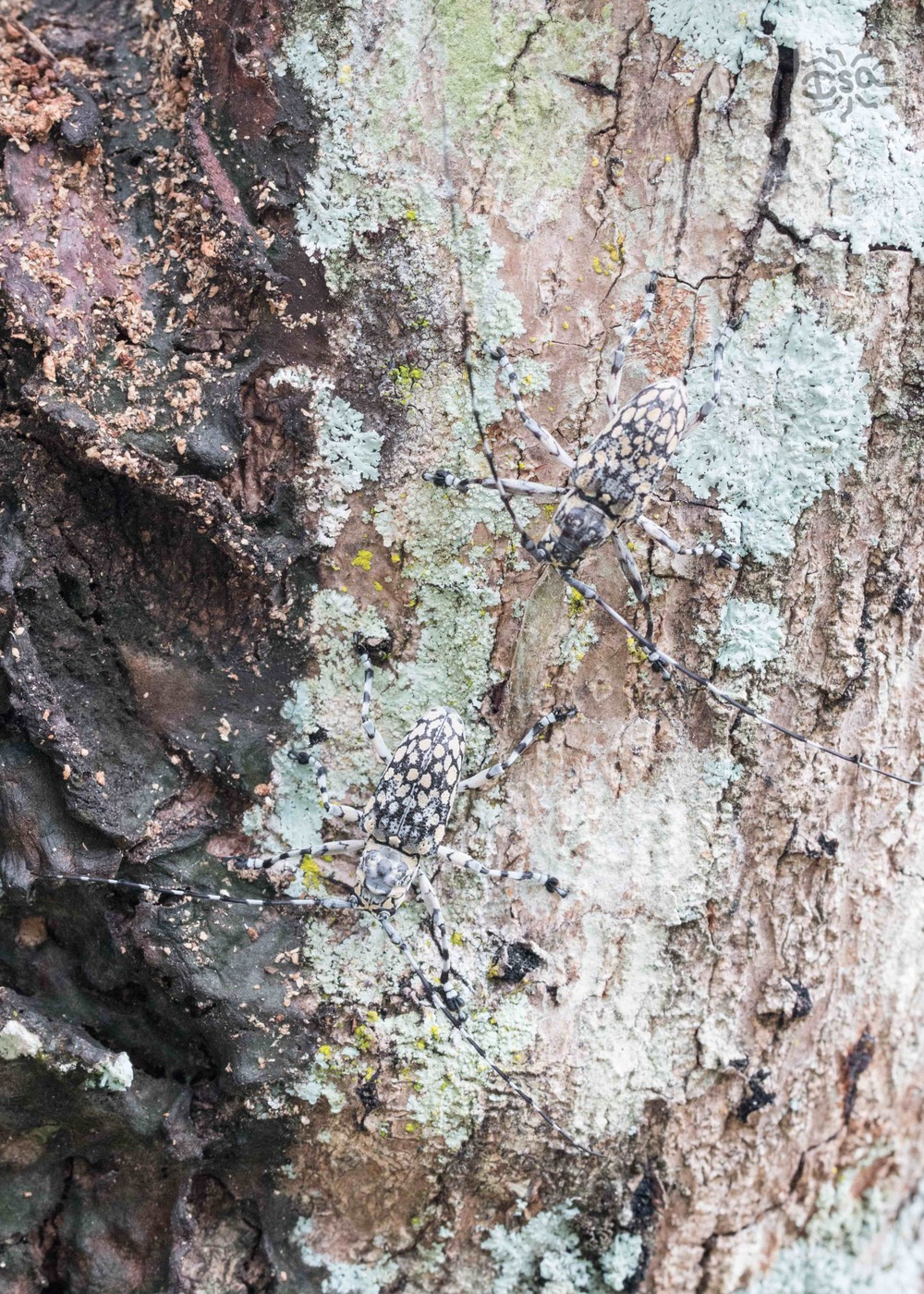 A female and male pair of long horned beetles are right at home on the lichenous bark of a dead tree.