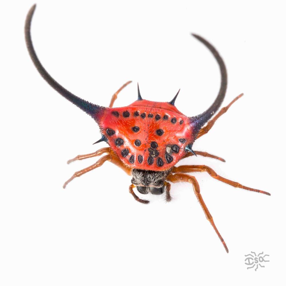 20150319 Borneo betancourt red spider.jpeg