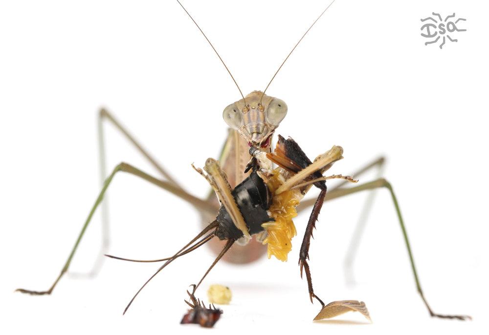 betancourt munching mantis