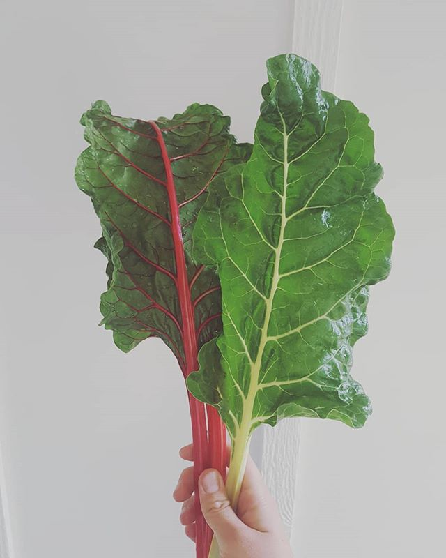 Beautiful chard.  Eating out of the garden this summer has been amazing. I'm sure the deer will eventually find us and it will get mowed down over night. But for now it's perfect! #kraketestgarden #organicgardening #kitchengarden #potager #eatprettyfood #eatvegetables #ediblelandscape #plantbased #selfcare