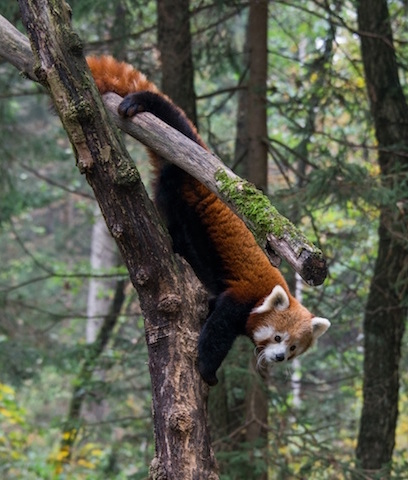Ok, so this little guy isn't actually a primate (it's a red panda) - but it's so stinking cute! Plus, check out that awesome one-legged supported hang!