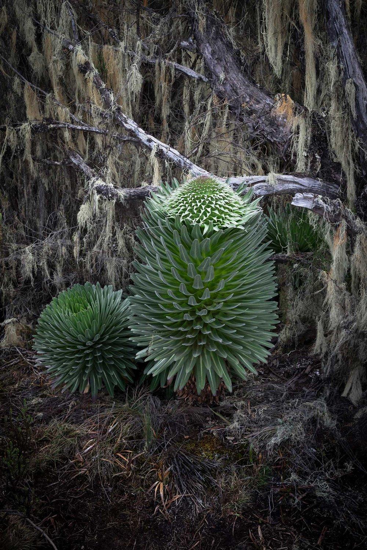 D3-17-unique-plants-of-shira-plateau-kilimanjaro.jpg
