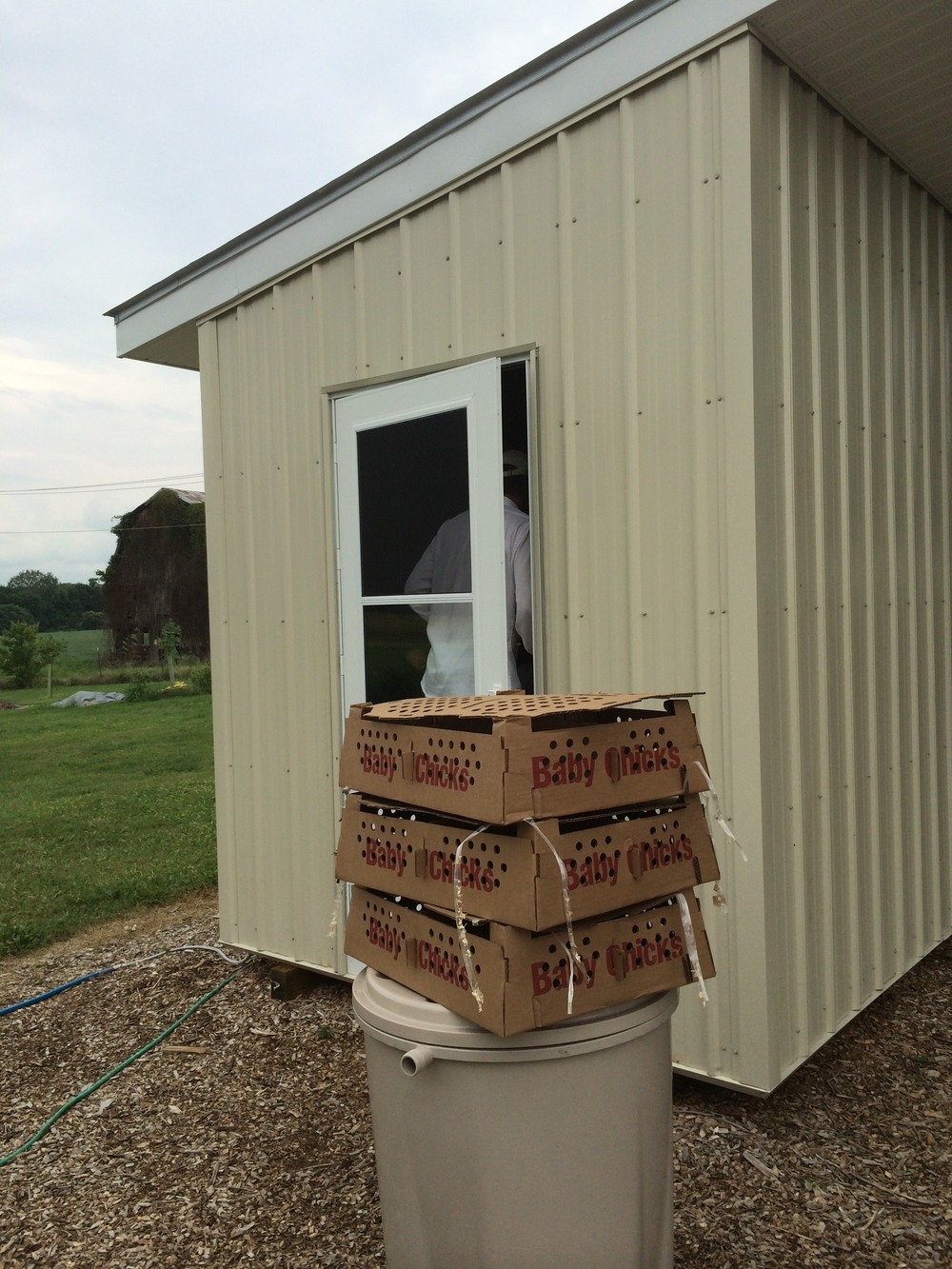 The day-old chicks arrived by mail, in three boxes, and were put into our newly-constructed brooder house.