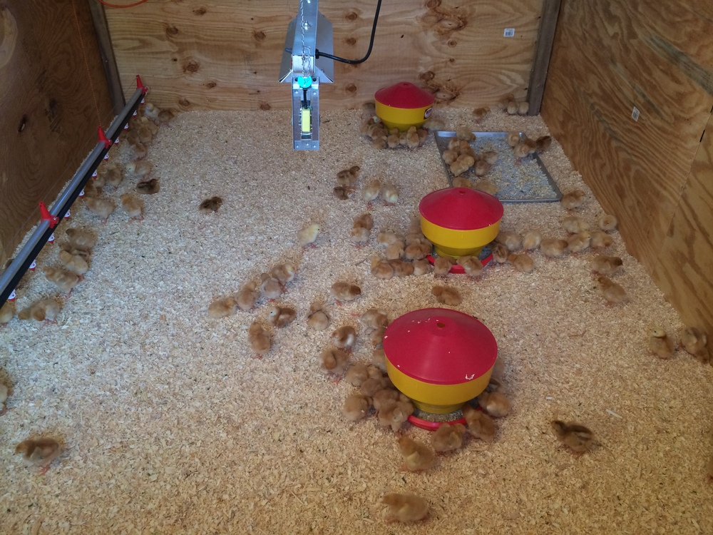 The anatomy of a brooder: heat lamp above the wood chip covered floor, red/yellow feeders, and a watering line.