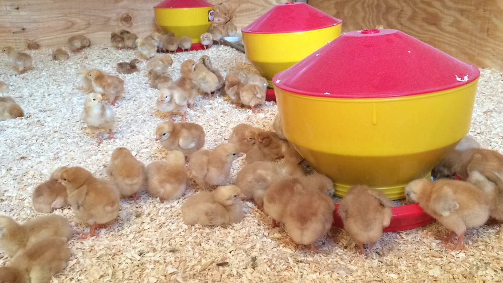The new arrivals spent most of their time eating, drinking, and napping under the heat lamp.