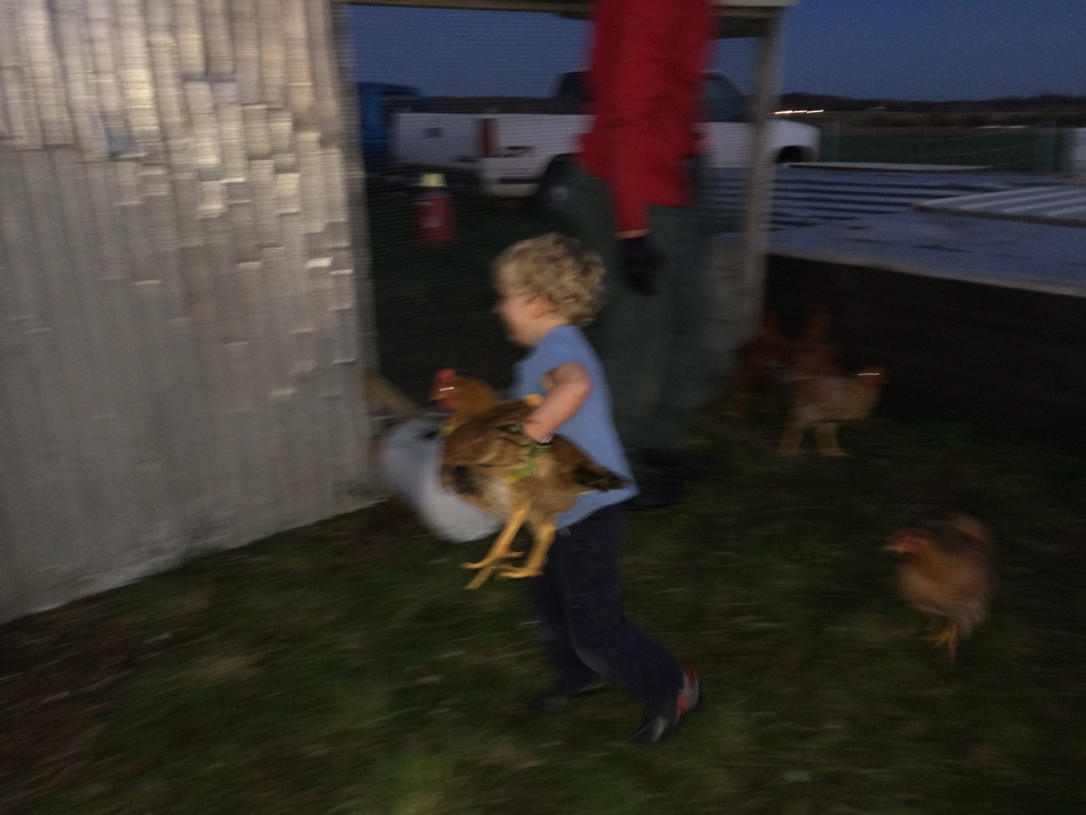 Here our youngest chicken wrangler gets some experience moving birds into a holding pen.