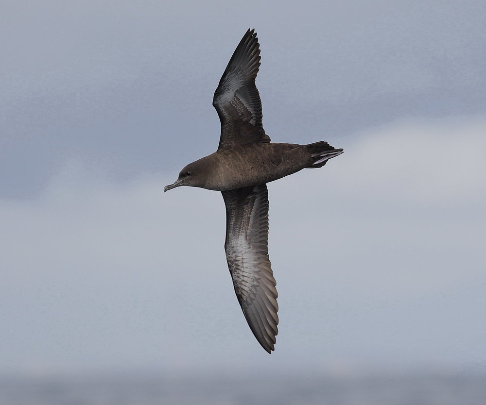 Recording of Short-tailed Shearwater colony