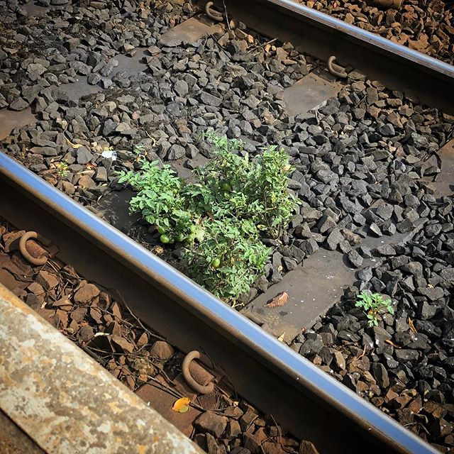 Tomatoes growing in the middle of train tracks. Tough little things.