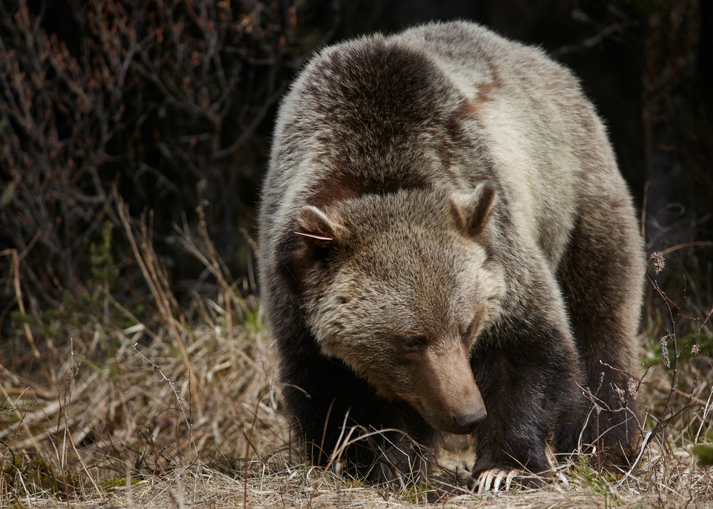 Bear 152, Kananaskis, Alberta.