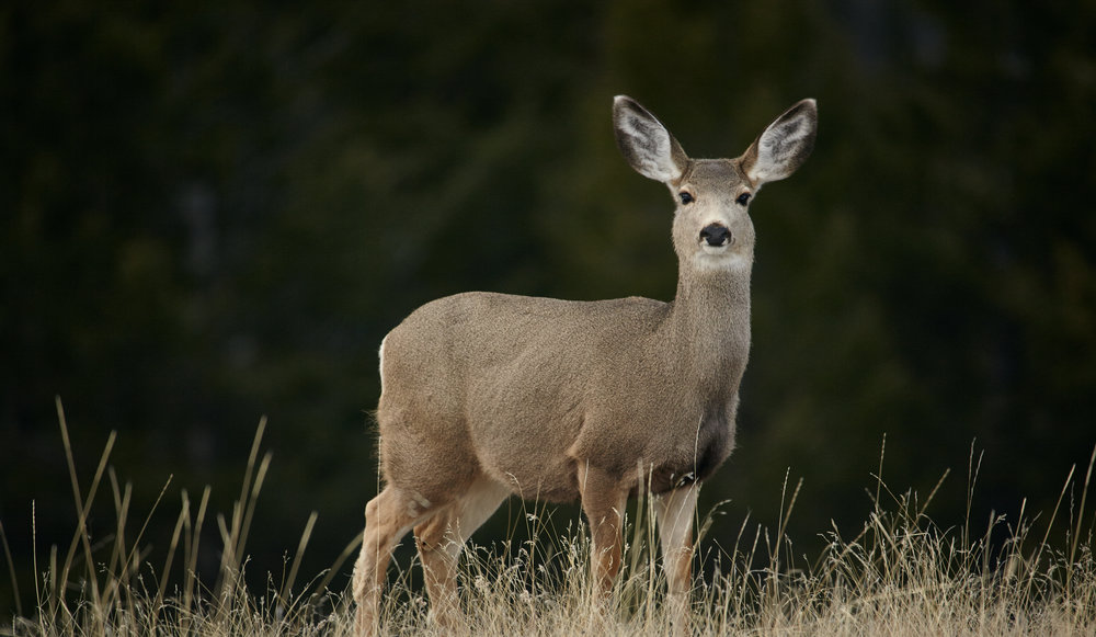 Mule Deer, Mount Norquay, Banff National Park.