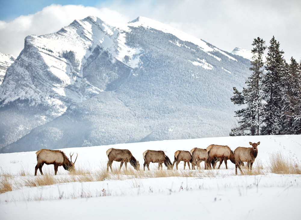 Winter Elk Herd01.jpg