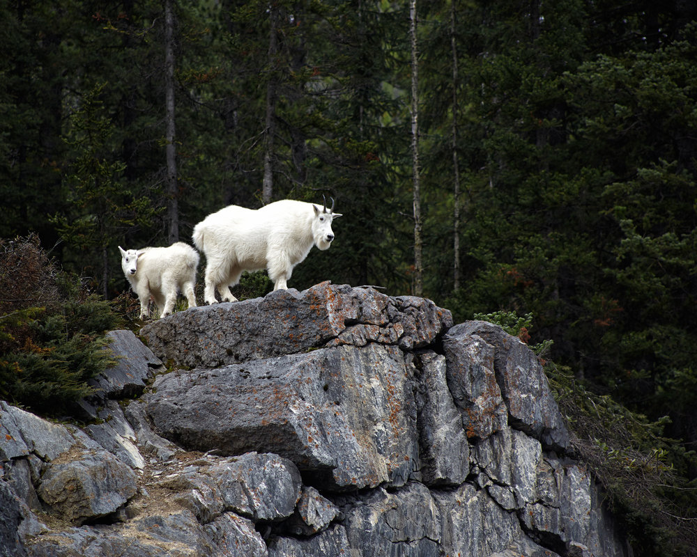 Mountain Goats, Yoho National Park, British Columbia.