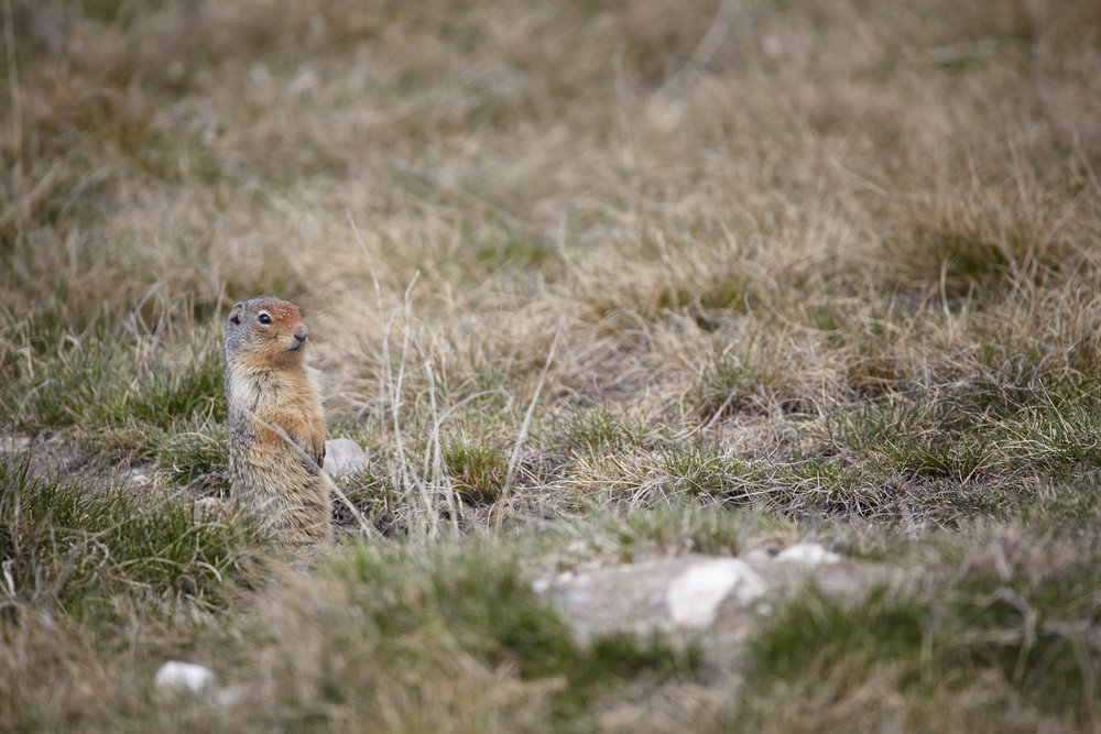 Curious Ground Squirrel, Canmore, Alberta.