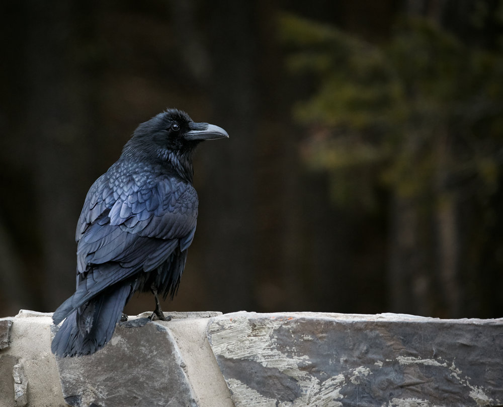Raven Profile, Banff National Park.