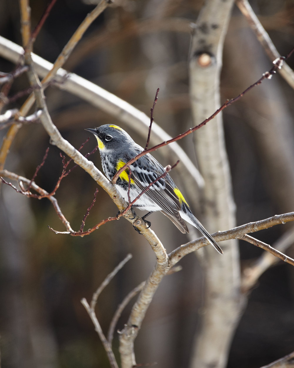 Yellow-Romped Warbler, Upper Lake, Kananaskis.