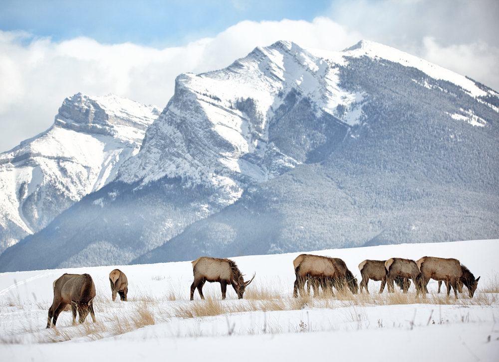 Grazing herd of elk, Canmore, Alberta.
