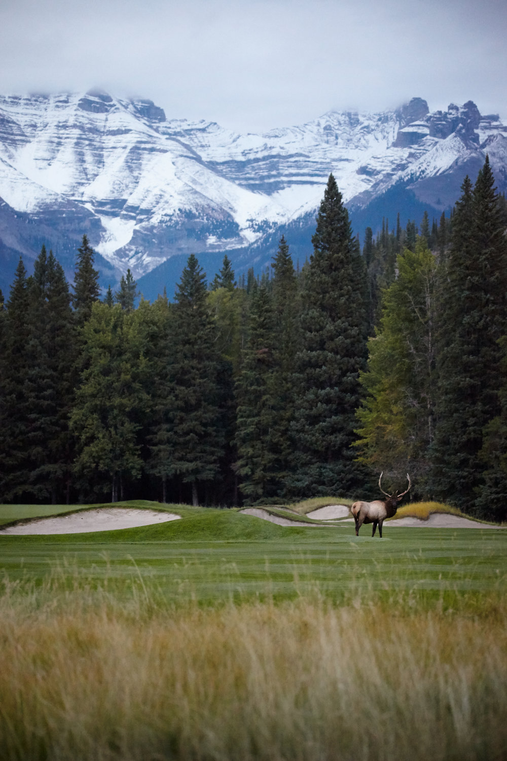 Bull Elk Grazing on the Golf Course, Banff National Park