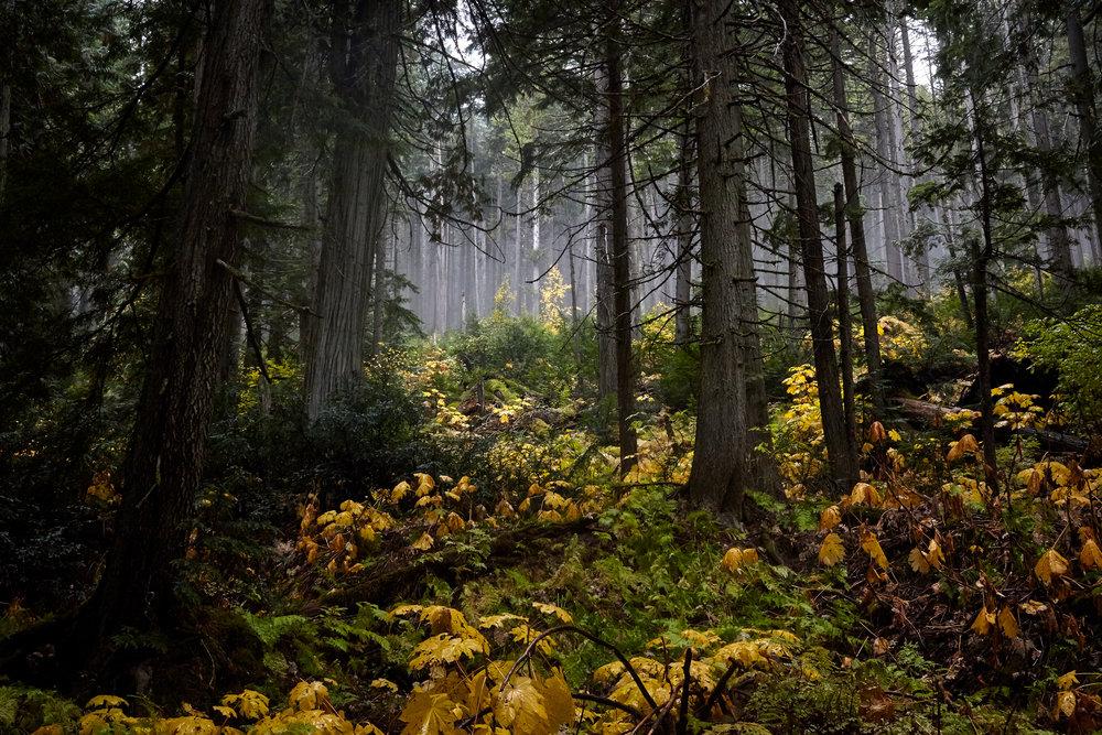 Temperate Rainforest, Revelstoke National Park