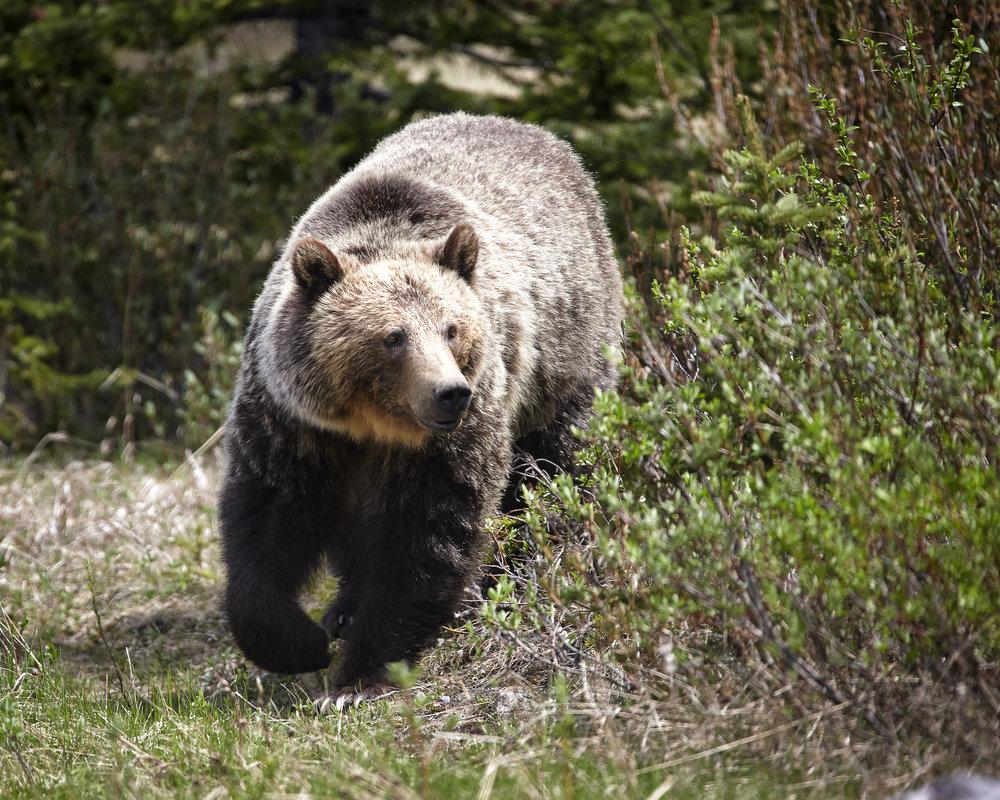 Unknown-Bear-Kananaskis.jpg