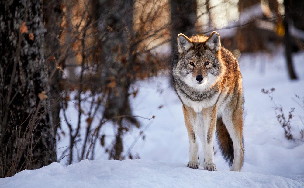 Coyote2018.jpg