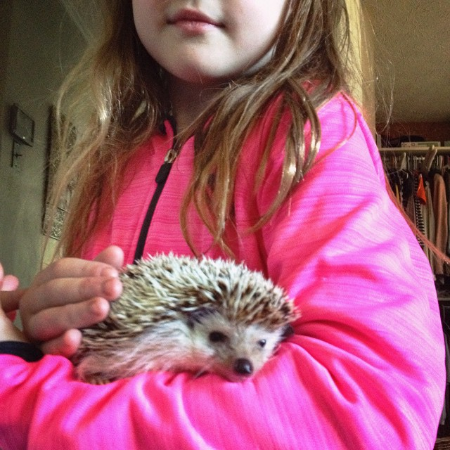 Holding a hedgehog without gloves is more challenging than you might think.