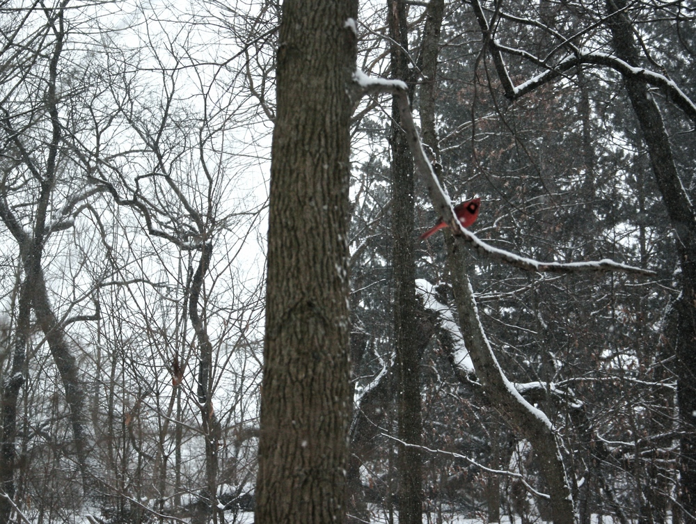 cardinal-perched-in-tree-in-snow-wbc.jpg