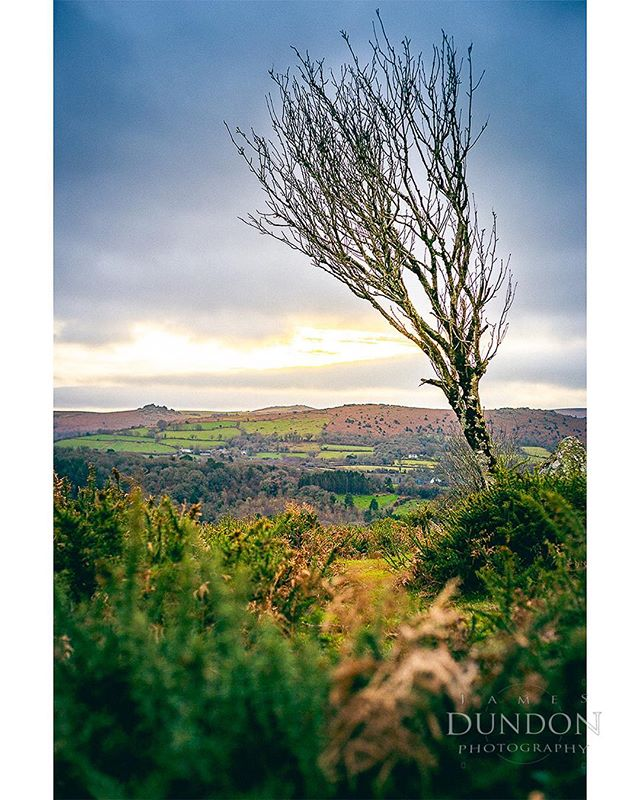 A tree atop lustleigh woods with houndtor in the background.
