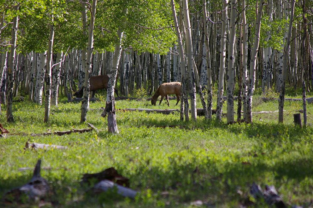 Spruce Mt 5 - elk.jpg