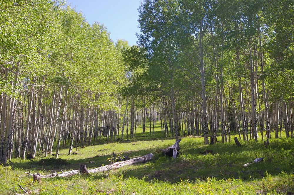 Spruce Mt 5 - aspen5.jpg