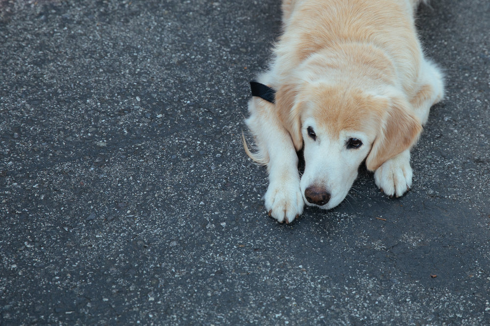 santa clara dogs
