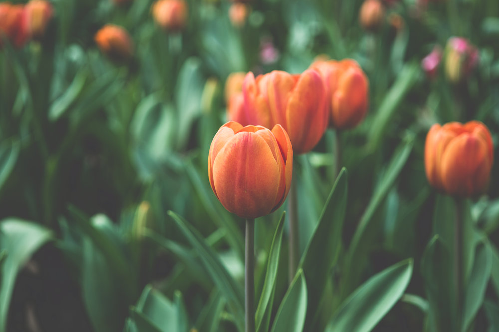 flowers-garden-orange-tulips