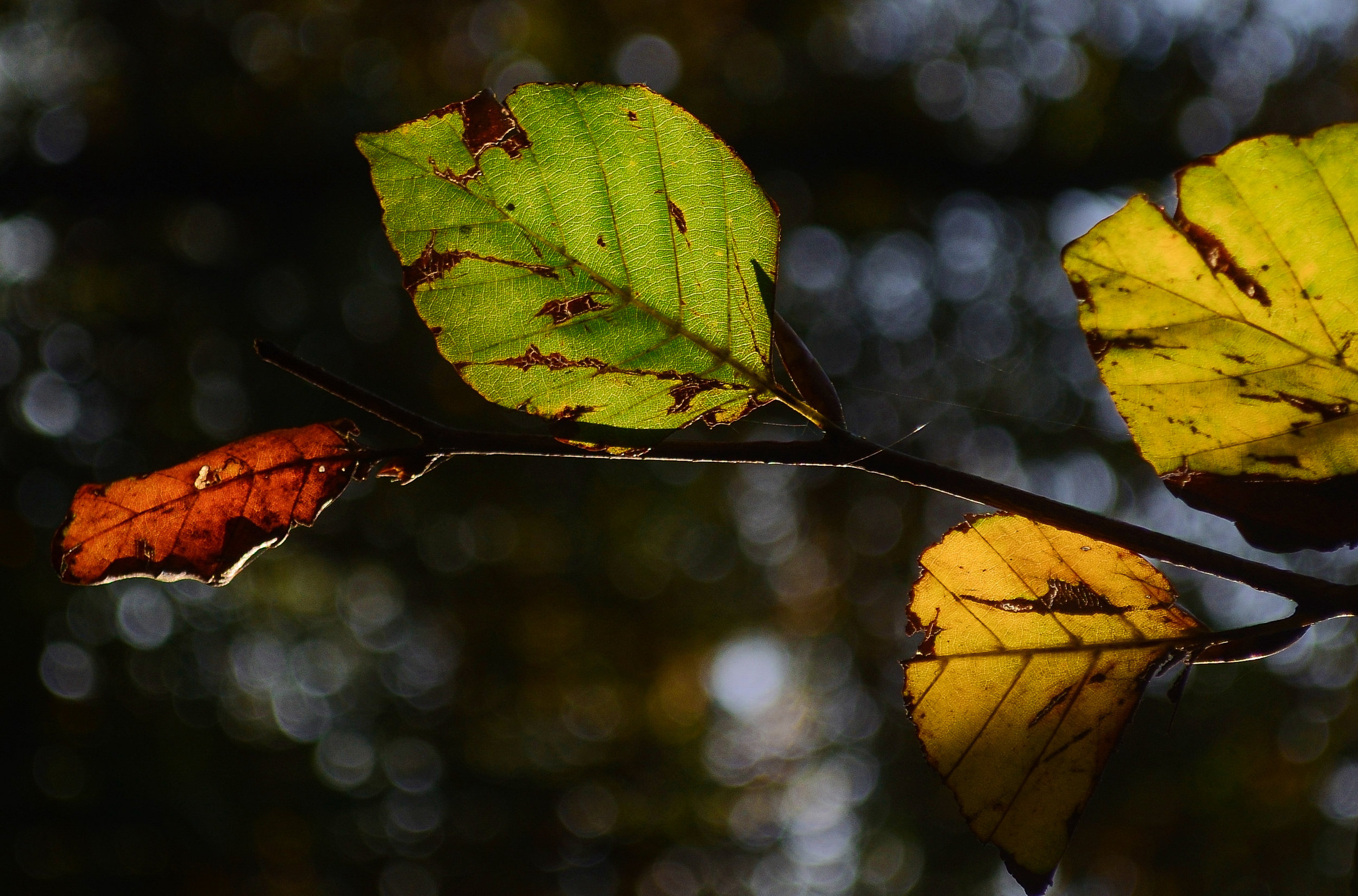 leaf-leaves-autumn-beech