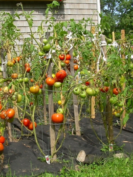 Picture of garden tomatoes.PNG
