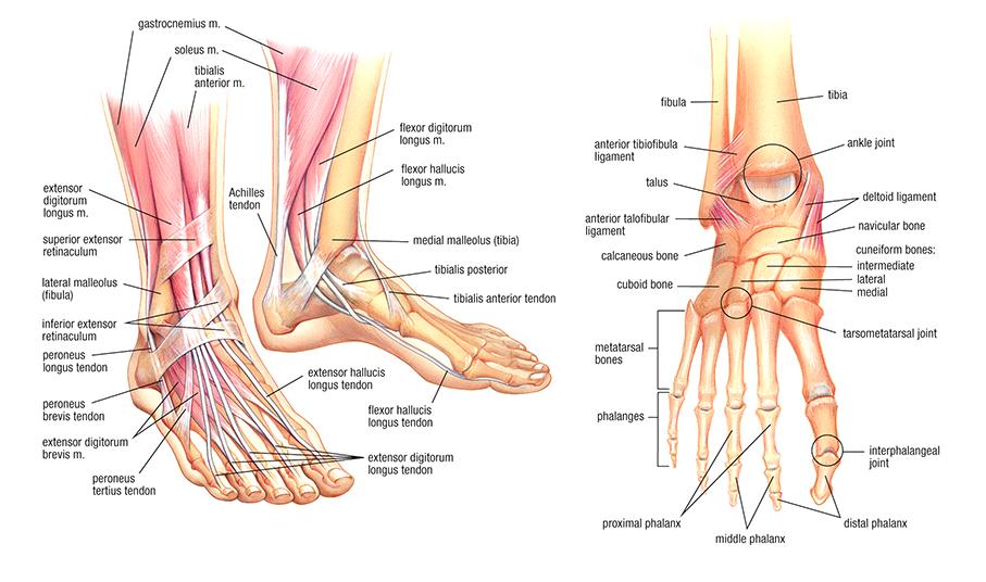 bones, muscle, tendons.jpg