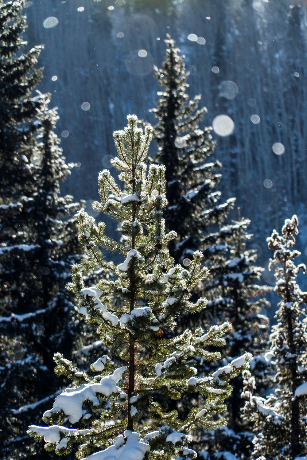 pines_tree_nature_outdoors_snow_winter_christmas.jpg