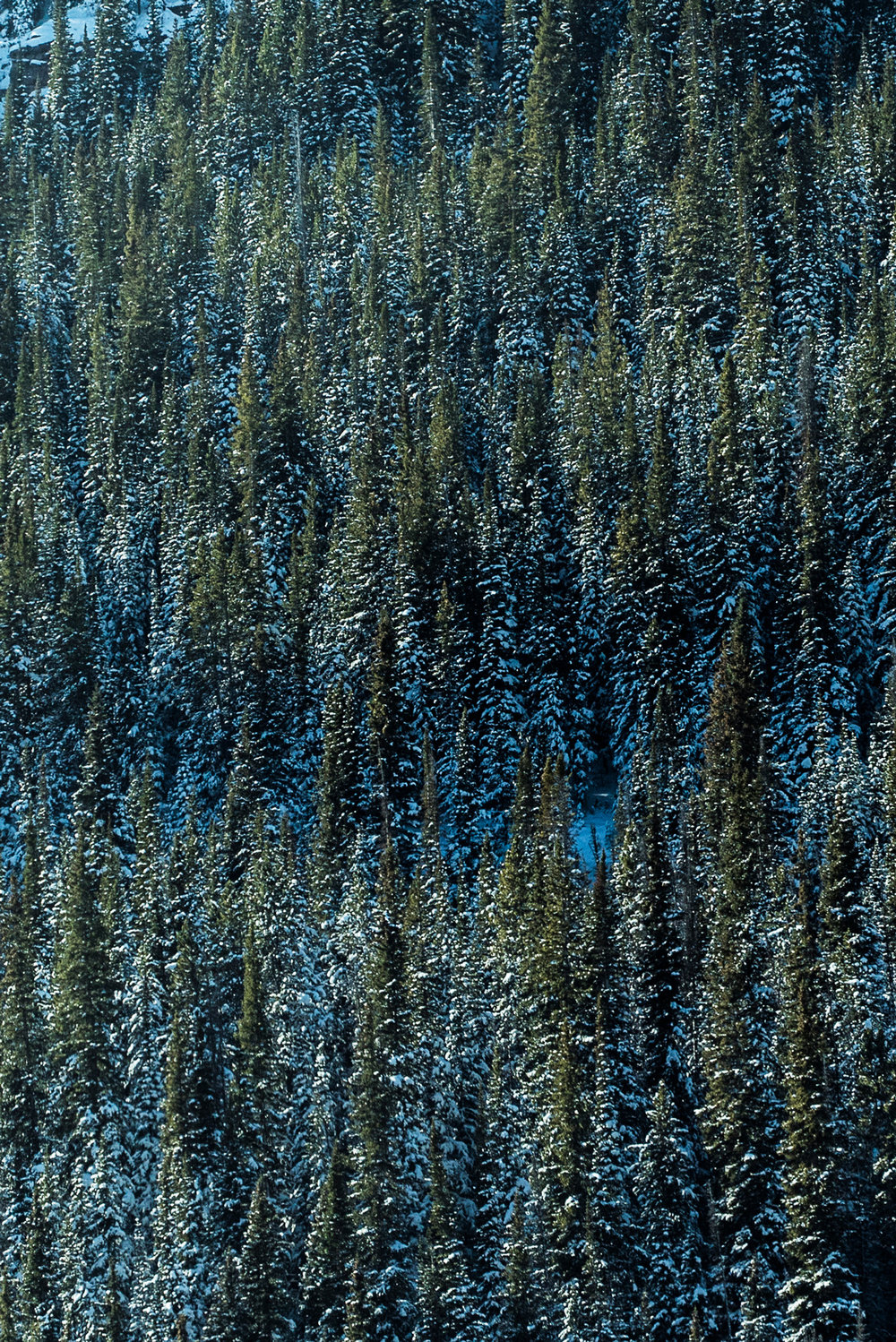 frozen_snow_tree_winter_colorado_alaska_green_branch.jpg