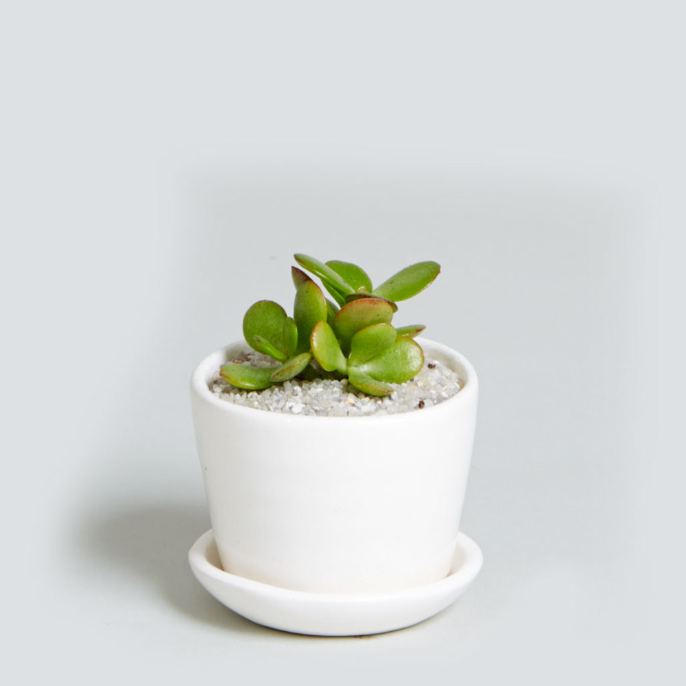 Ezra_Matte_White_Succulent.jpg