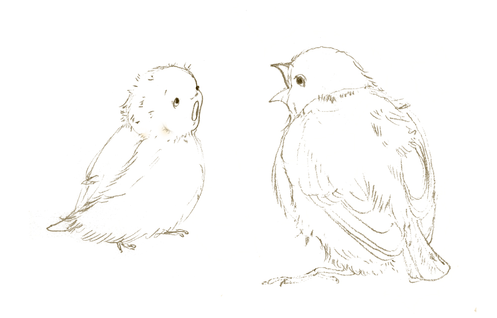 baby-bird-aly-comp-crp-alt.jpg
