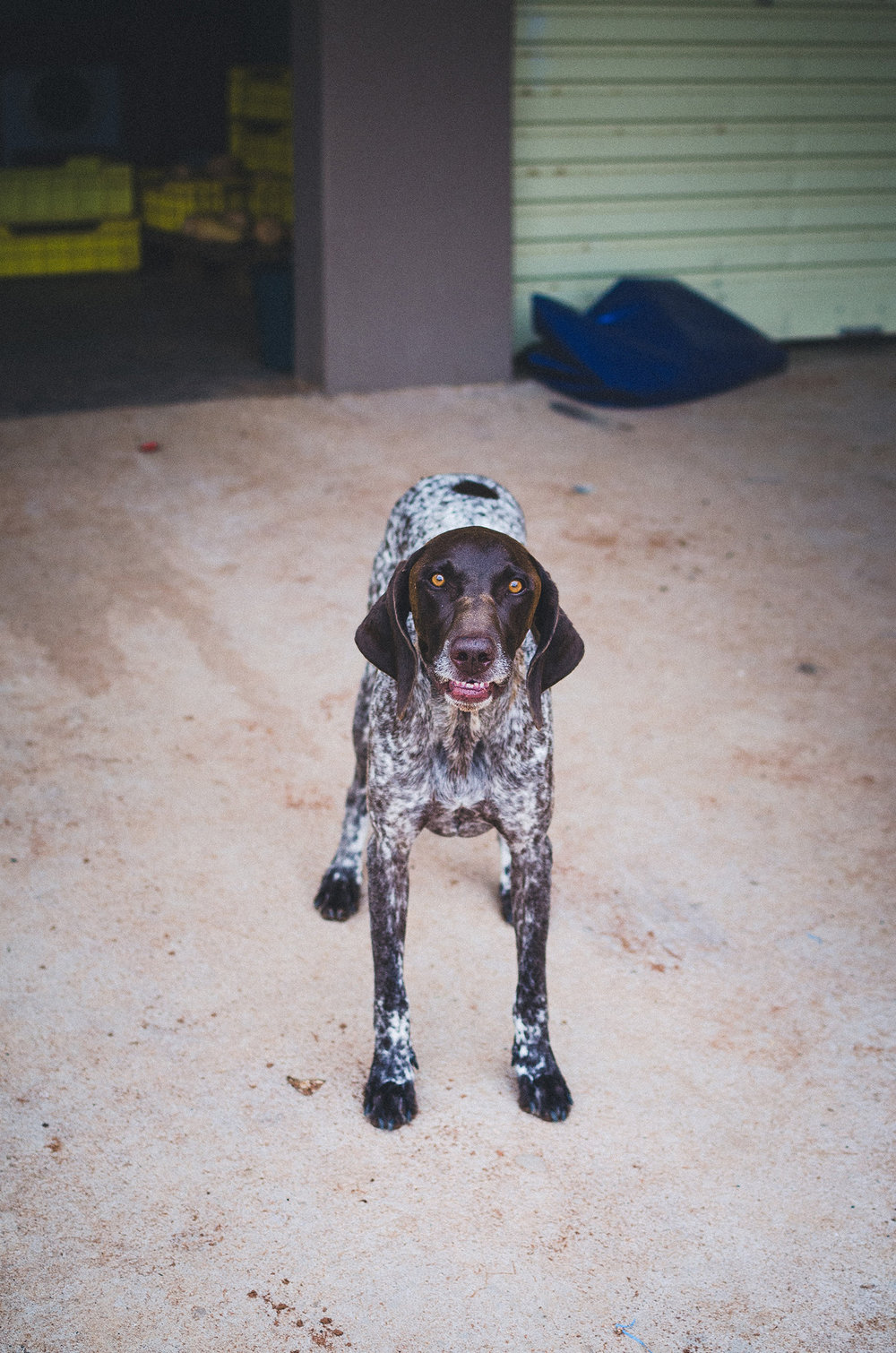 Karma Spies German Pointer