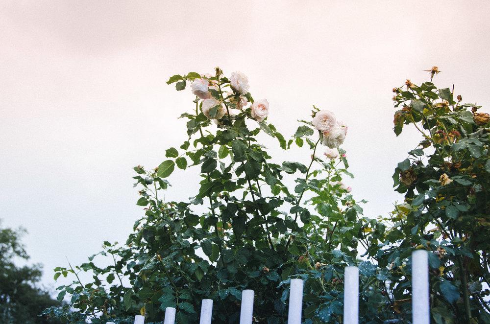 rained rose