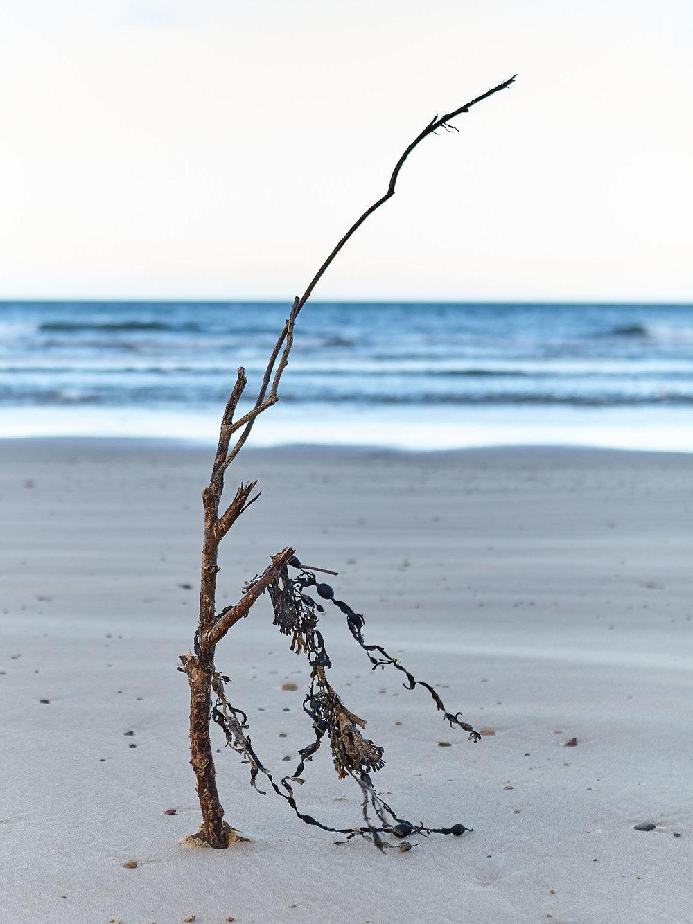 Twig with seaweed.