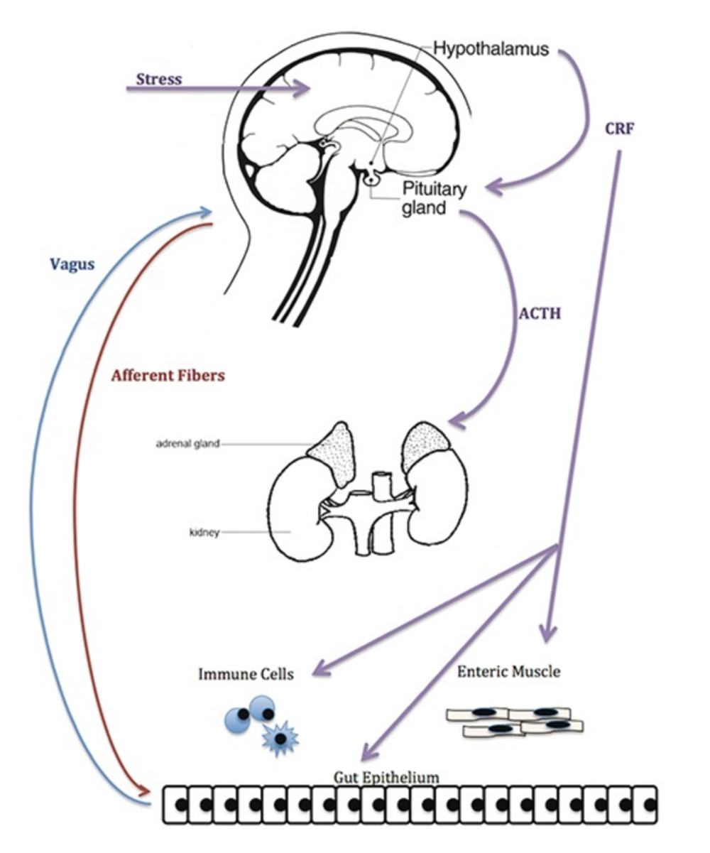 The gut-brain axis pathway. Image created by Megan Clapp and Emily Wilen.