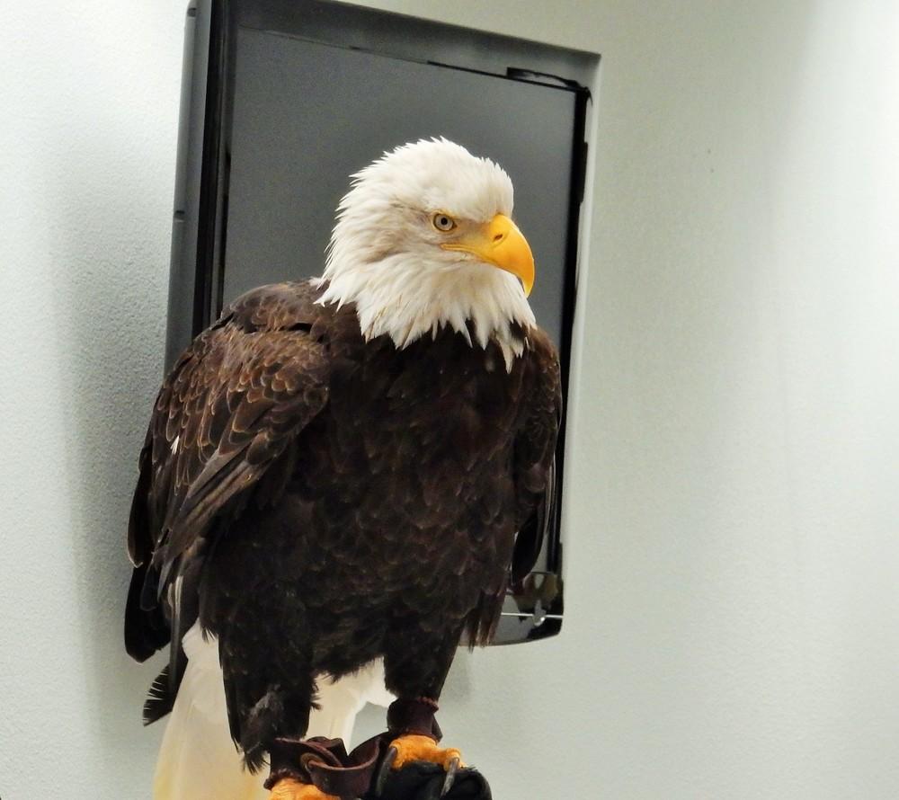 Eagle Ambassador on Wander Nature