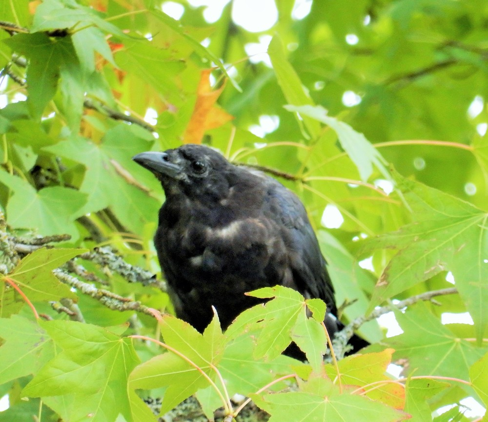 Crow on Wander Nature