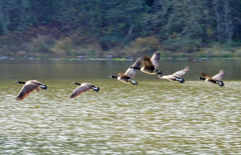 Geese on Wander Nature