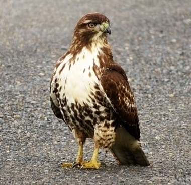 Hawk on Wander Nature