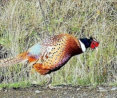 Pheasant on Wander Nature